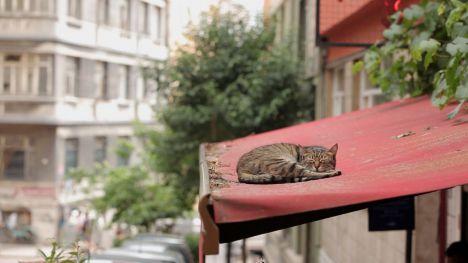 Kedi (Gatos de Estambul)