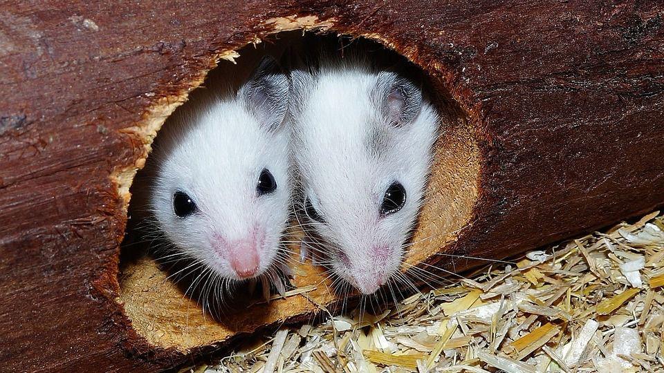 ¿Cómo repeler a los roedores sin hacerles daño?
