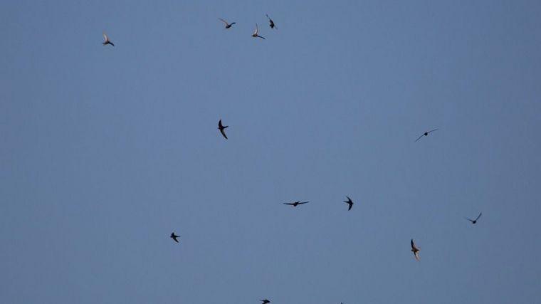 """El inusual patrón de migración """"en cadena"""" del vencejo común"""