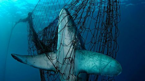 Más de un tercio de los tiburones y rayas están al borde de la extinción